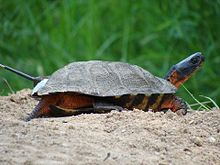 Female Wood Turtle (6762045051).jpg