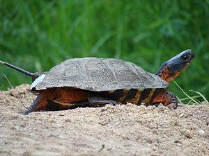 Wood turtle - Image: Female Wood Turtle (6762045051)