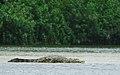 Female croc.jpg