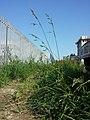 Festuca arundinacea subsp. uechtritziana sl16.jpg