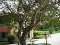 Ficus lutea 0001.jpg