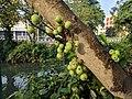Ficus racemosa 010.jpg
