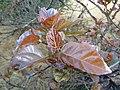 Ficus sur, vars winterblare, Louwsburg.jpg
