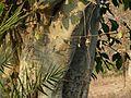 Ficus virens ? (3188527104).jpg