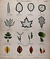 Fifteen plant leaves with different types of venation, stalk Wellcome V0044556.jpg