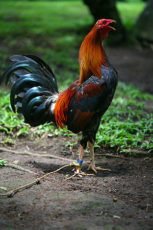 Rooster - A rooster from the Philippines crowing. Note the characteristic neck bending that always takes place during crowing.