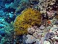 Fire coral (a hydrozoan) (6163168395).jpg