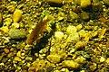 Fish swimming in Lake Sawyer 02-contrast increased.jpg