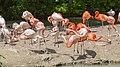 Flamingo (Phoenicopterus roseus), Tierpark Hellabrunn, Múnich, Alemania, 2012-06-17, DD 05.JPG