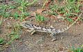 Flap-neck Chameleon (Chamaeleo dilepis) (16653540663).jpg