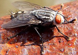Flesh fly Sarcophaga sp.jpg