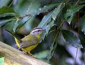 Flickr - Dario Sanches - PULA-PULA (Basileuterus culicivorus) (3).jpg