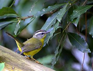 Basileuterus - Golden-crowned warbler