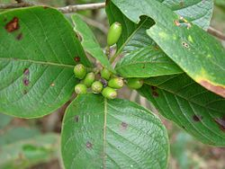 Flickr - João de Deus Medeiros - Coussarea platyphylla.jpg