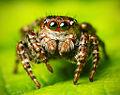 Flickr - Lukjonis - Jumping spider - Sitticus floricola (set of pictures).jpg