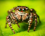 Flickr - Lukjonis - Jumping spider - Sitticus floricola (set of pictures).jpg