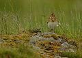 Flickr - Rainbirder - Skylark (Alauda arvensis) singing in the rain.jpg