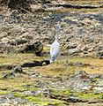 Flickr - brewbooks - White face heron at Shipwreck Cove, NZ (1).jpg