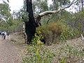 Flinders Range, Gum Tree - panoramio.jpg