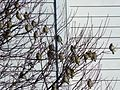 Flock of Cedar Waxwings3.jpg