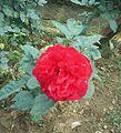 Flor Roja, Maturín..jpg