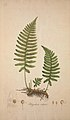 Flora Londinensis, or, Plates and descriptions of such plants as grow wild in the environs of London (8281189371).jpg