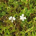 Flora from Madayipara DSCN2629.jpg