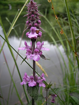Stachys palustric