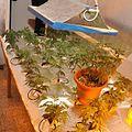Flowering cannabis plants - Israel.jpg
