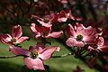 Flowers-spring-dogwood-pink - West Virginia - ForestWander.jpg