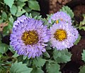 Flowers - Uncategorised Garden plants 76.JPG