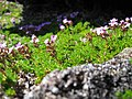 Flowers in crater of Pico Mountain - panoramio.jpg