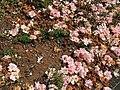 Flowers of Camellia japonica 20200329-2.jpg