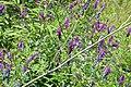 Fodder Vetch, Vicia villosa (43995492164).jpg