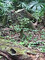 Forest Detail - Tikal Archaeological Site - Peten - Guatemala (15871704205).jpg