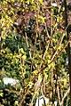 Forsythia x intermedia Lynwood 0zz.jpg