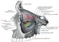 Fossaglandulaelacrimalis.PNG