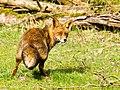 Fox (17175685616).jpg