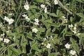 Fragaria viridis (Knack-Erdbeere) IMG 8839.JPG