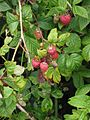 Framboos vruchten.jpg