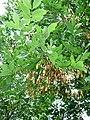 Fraxinus pennsylvanica foliage seed.jpg