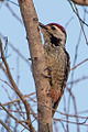 Freckle-breasted Woodpecker by Jason Thompson (Cropped).jpg