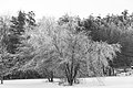 Frosted Tree (11583669454).jpg