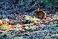 Frozen Rabbit near Kingston Russell - geograph.org.uk - 1075567.jpg