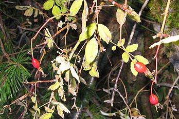 Frucht (Rosa pendulina).jpg