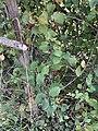 Fruits Églantinier Chemin Fasses - Saint-Cyr-sur-Menthon (FR01) - 2020-10-31 - 4.jpg