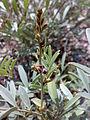 Fujeirah north 1501200713099 Tephrosia apollinea.jpg