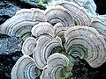 Fungi on fallen log.jpg