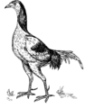 GAME COCK (PSF).png