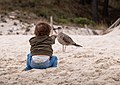 Gabriel offering sand to a juveline yellow-legged gull (Larus michahellis), Cíes Islands, Spain (PPL1-Corrected) julesvernex2.jpg
